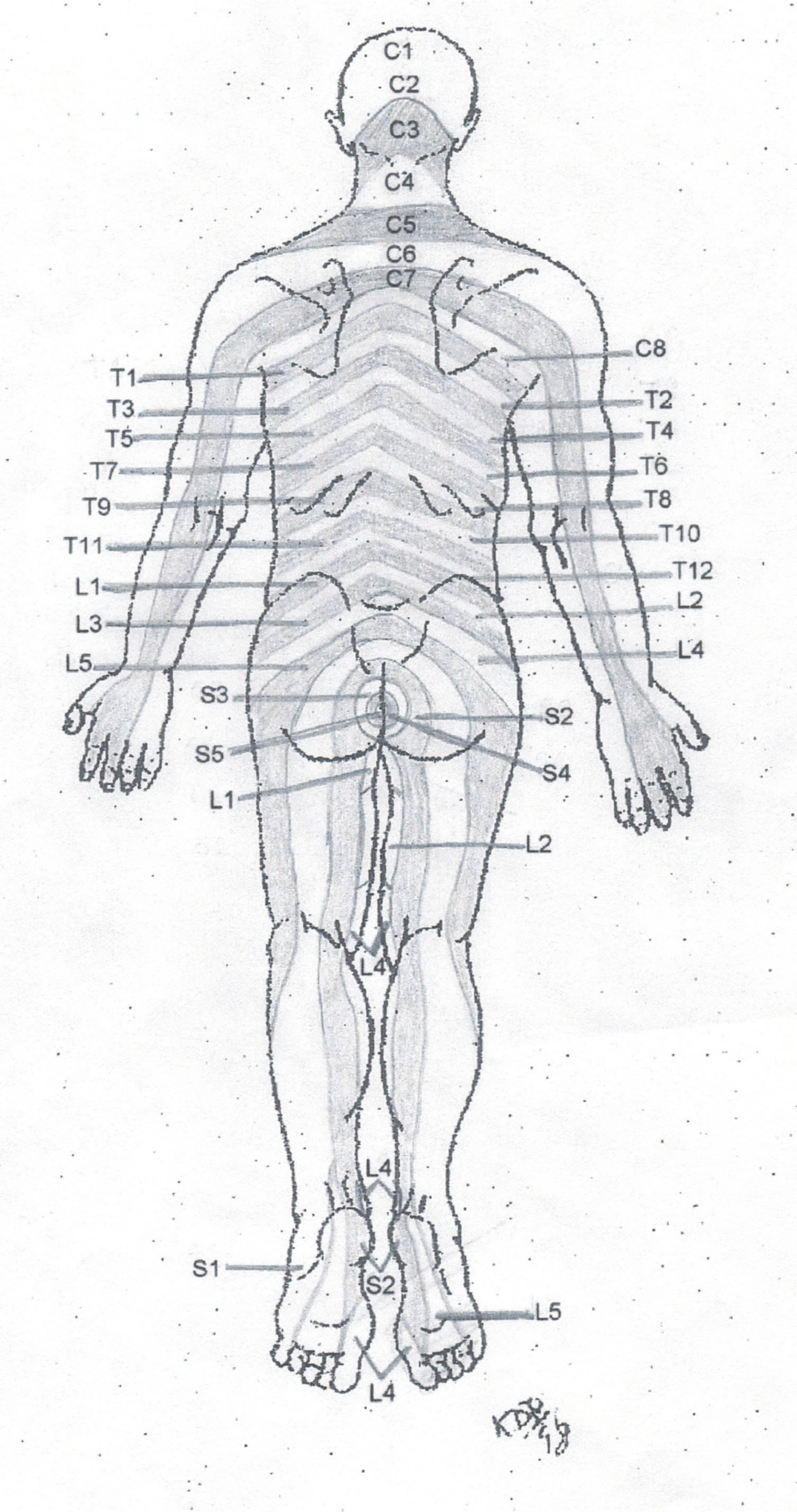 Rear Dermatome Chart Copyright American Academy Of Manual Medicine